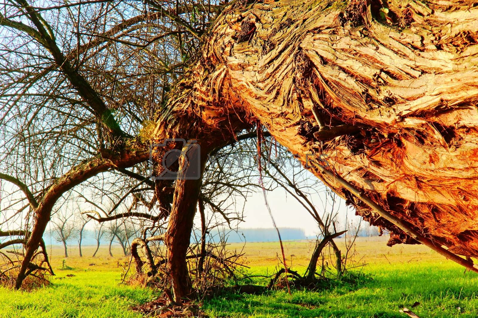 The Leaning Tree  in the Puszta