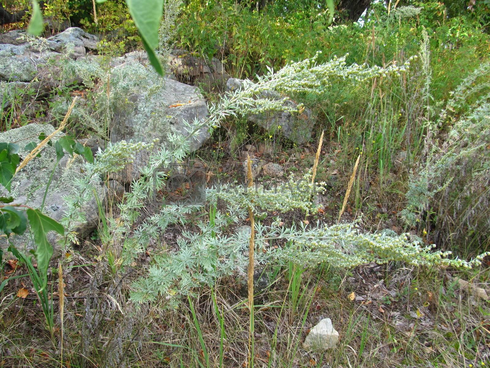 Royalty free image of sagebrush (Artemisia vulgaris) near forest stones by Aleksey_Gromov