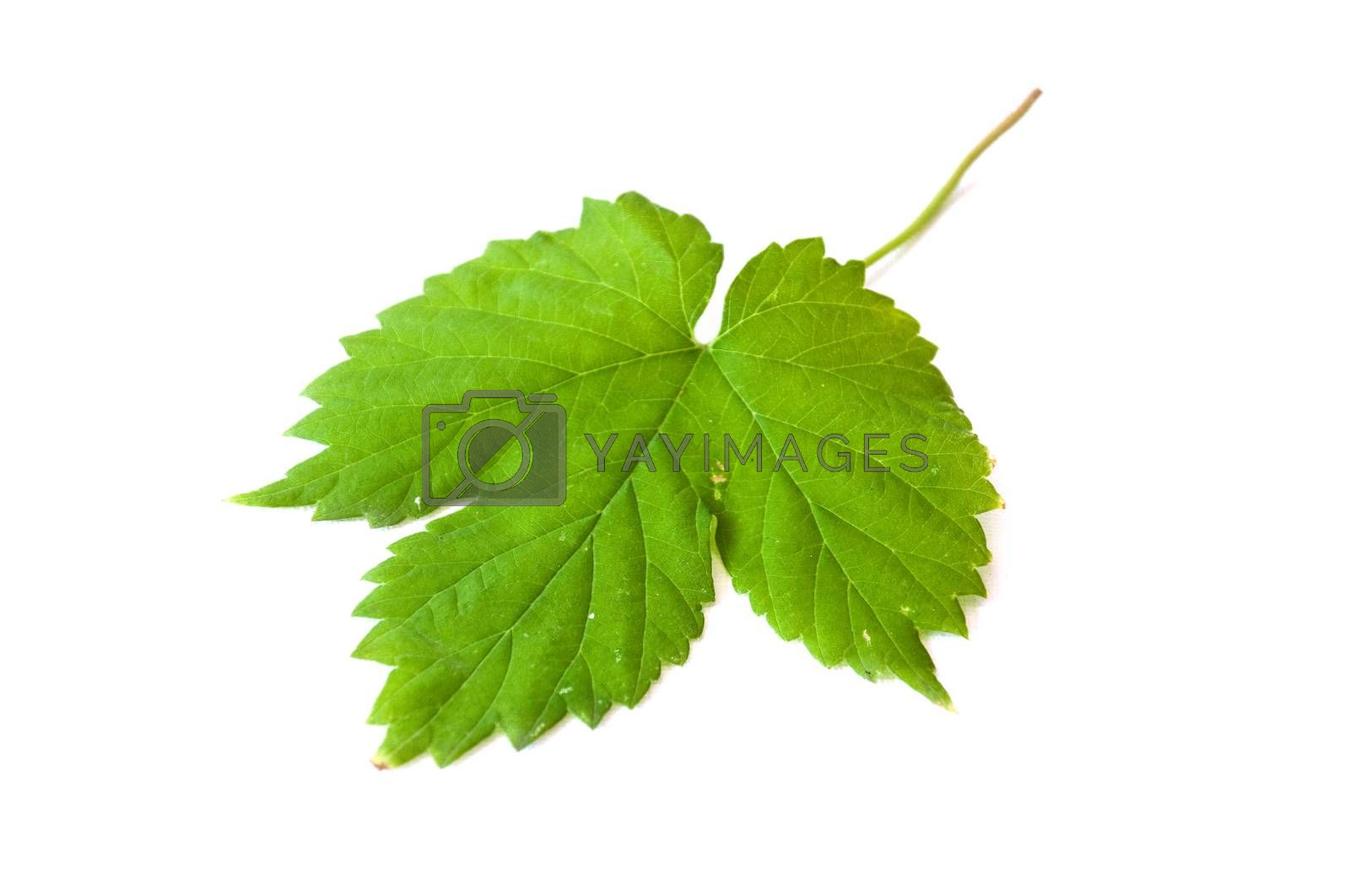 Royalty free image of Isolated leaf of vine  on white background by NeydtStock
