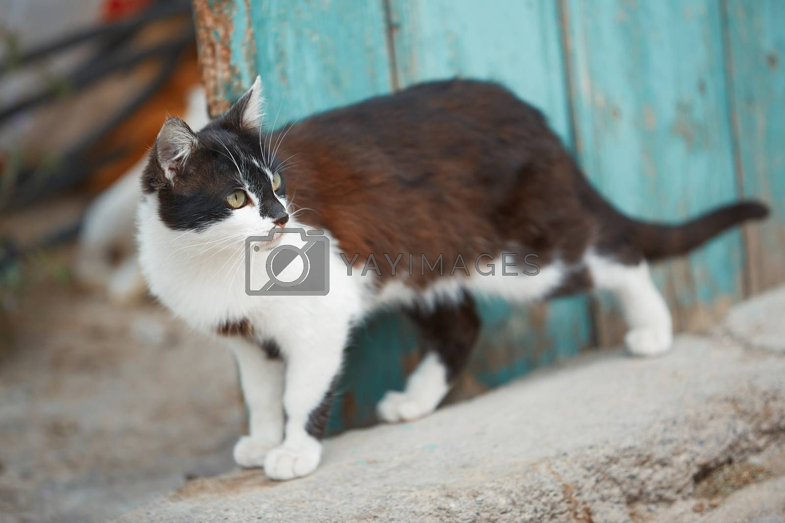 Royalty free image of Domestic cat by Novic