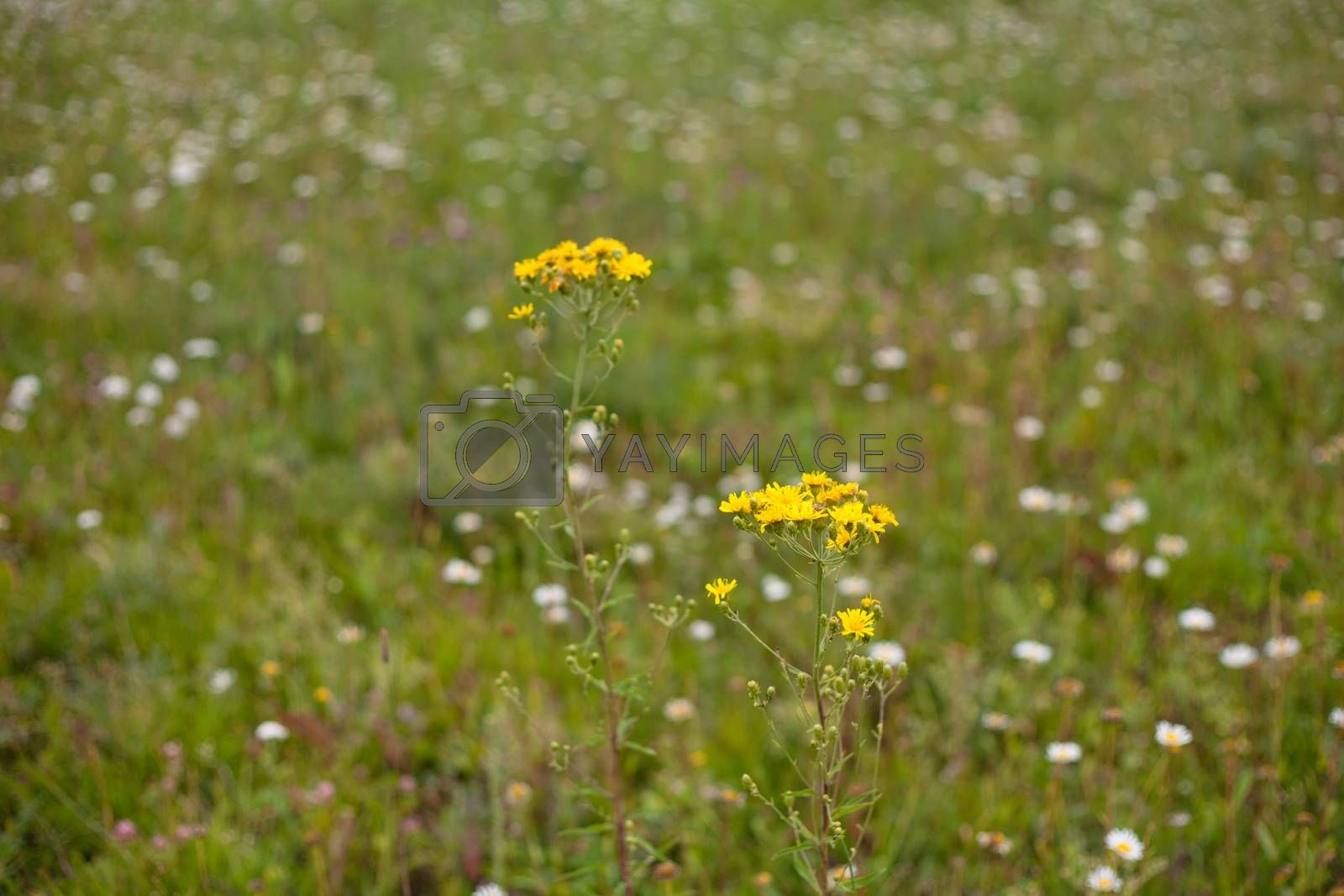 Royalty free image of Yellow wildflowers by foaloce
