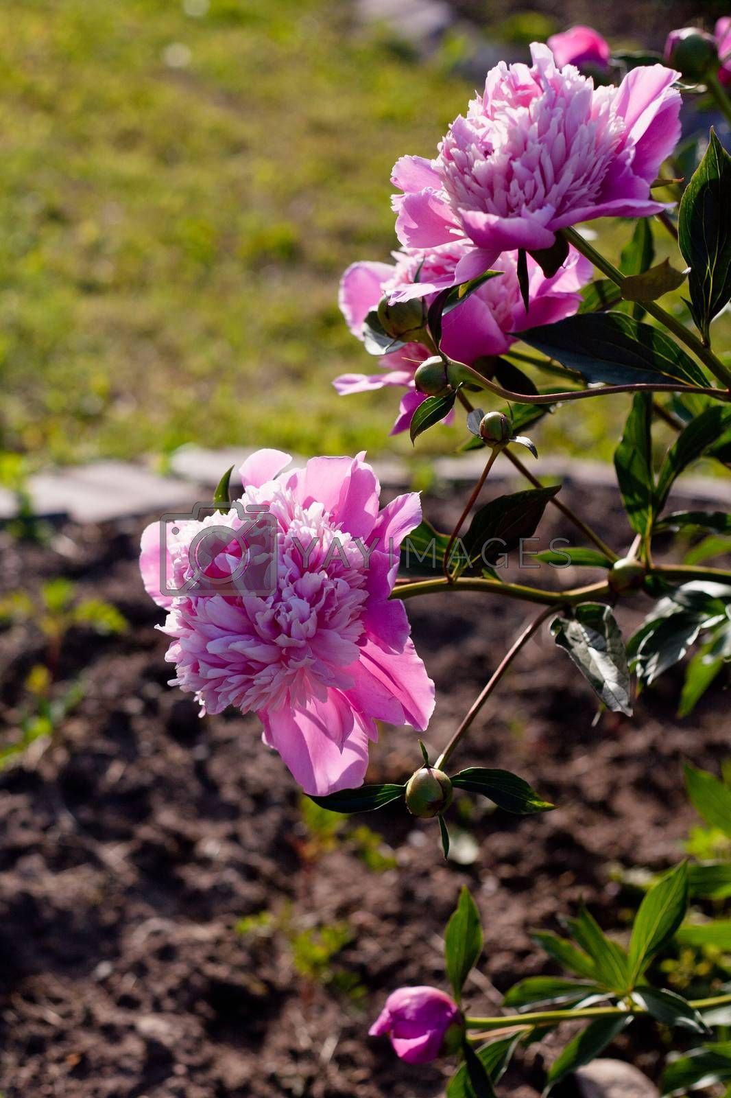 Royalty free image of Pink peonies by foaloce