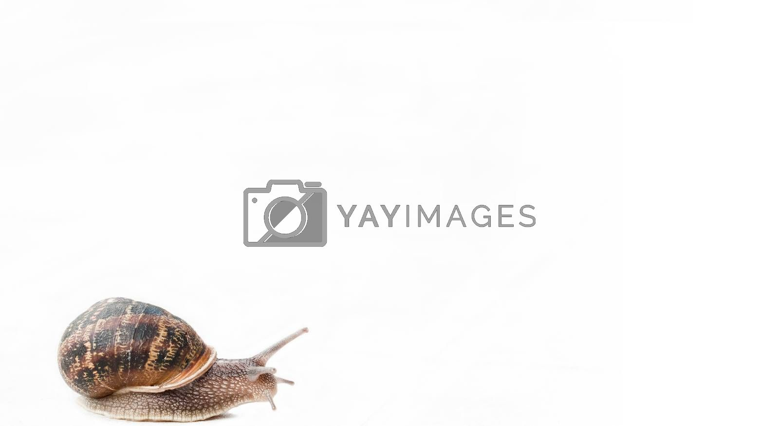 Royalty free image of gastropod isolated by NeydtStock