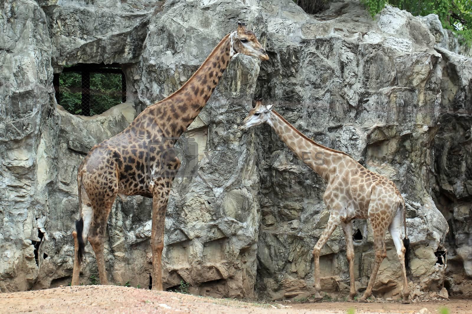 Royalty free image of giraffe by leisuretime70