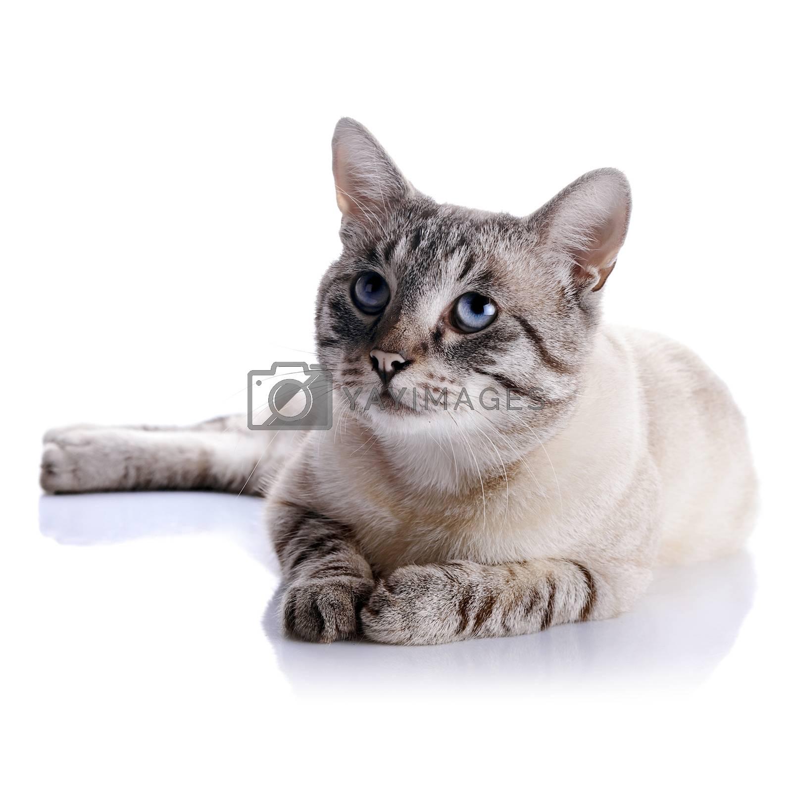 Royalty free image of Striped blue-eyed cat by Azaliya