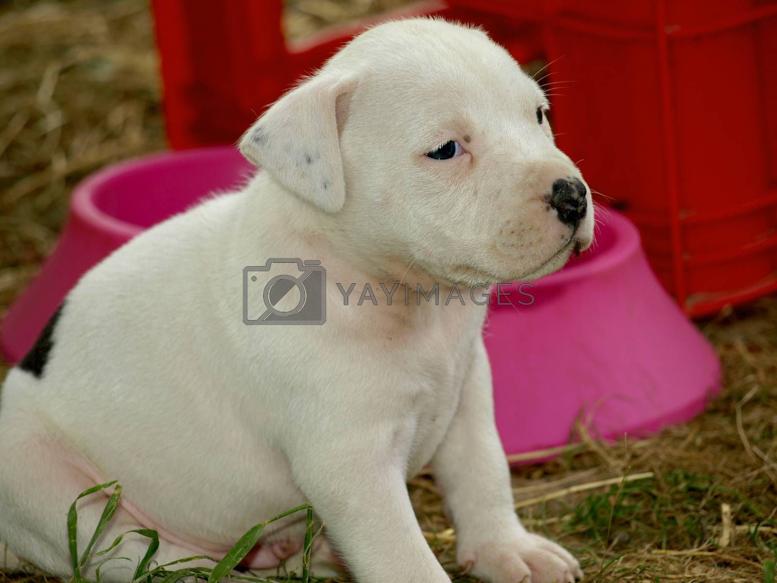 Royalty free image of puppies stafford   by pm29