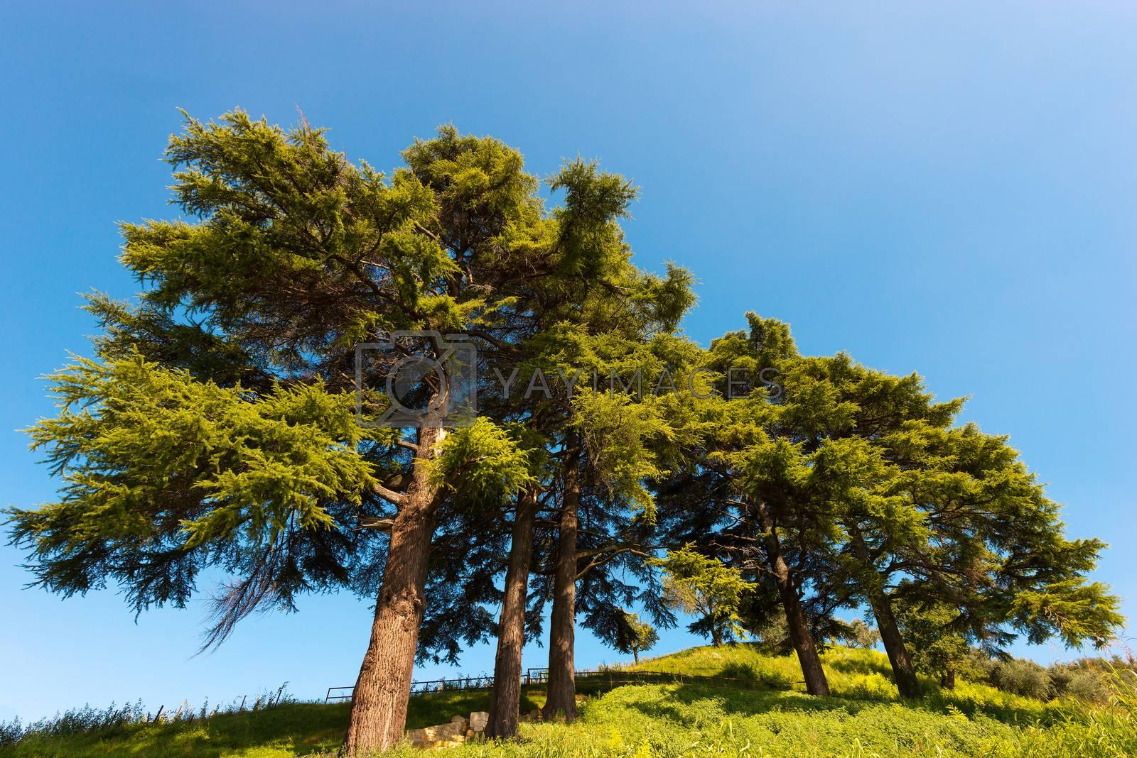 Royalty free image of Cedars of Lebanon - Cedrus Libani by catalby