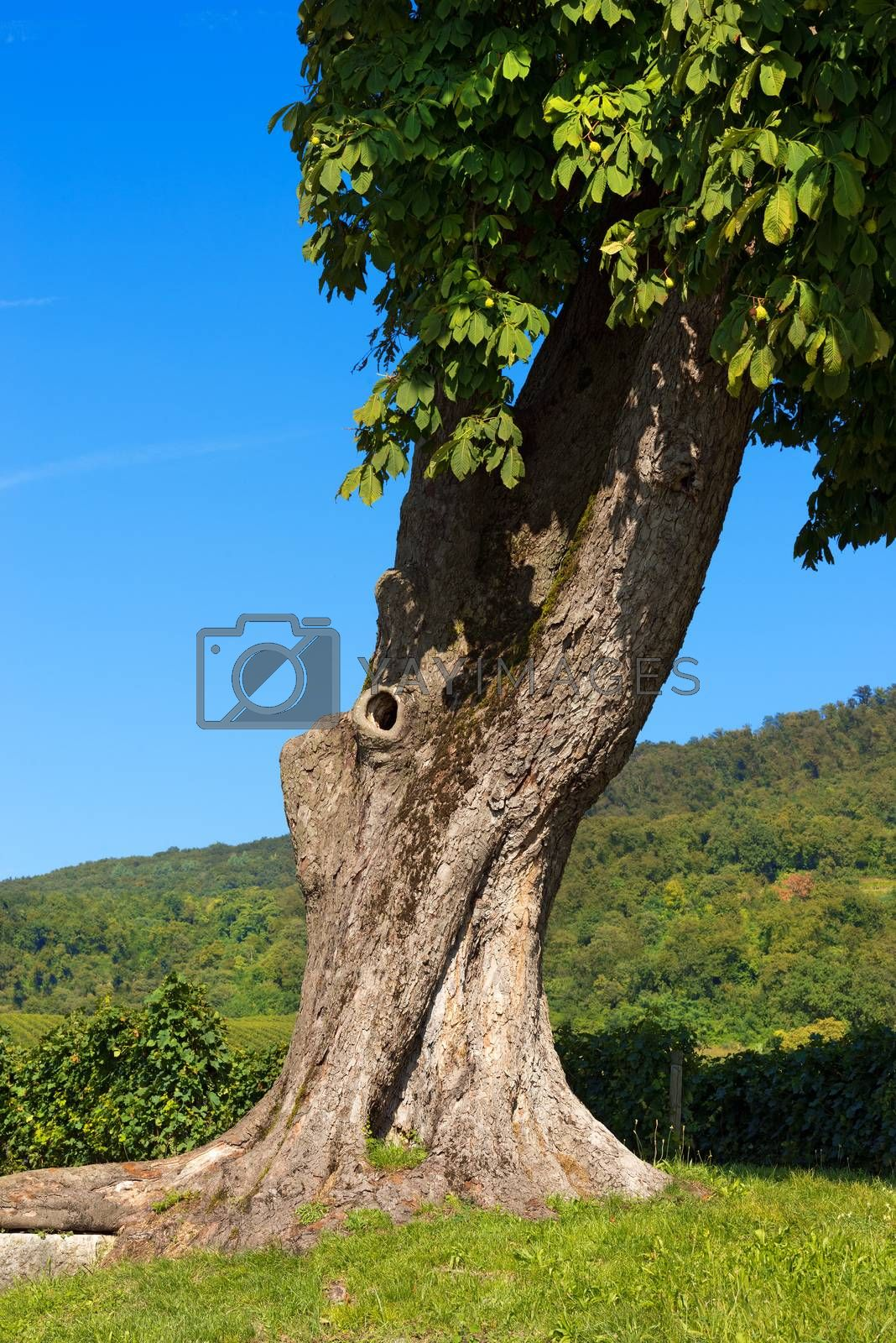 Royalty free image of Chestnut Tree Trunk - Detail by catalby