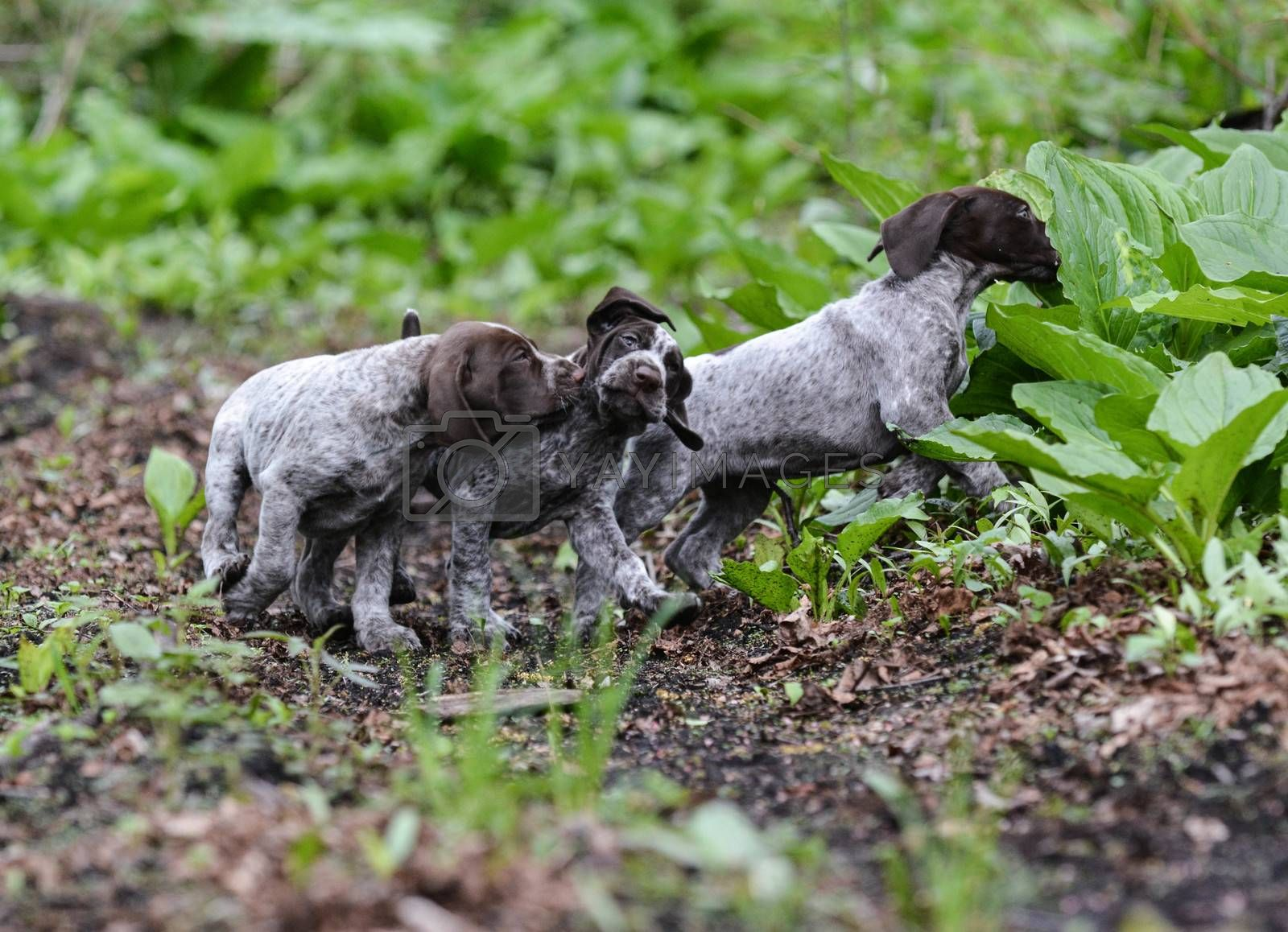 Royalty free image of litter of puppies playing by willeecole123