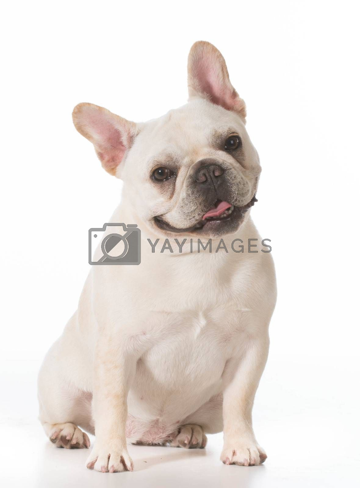 Royalty free image of french bulldog  by willeecole123