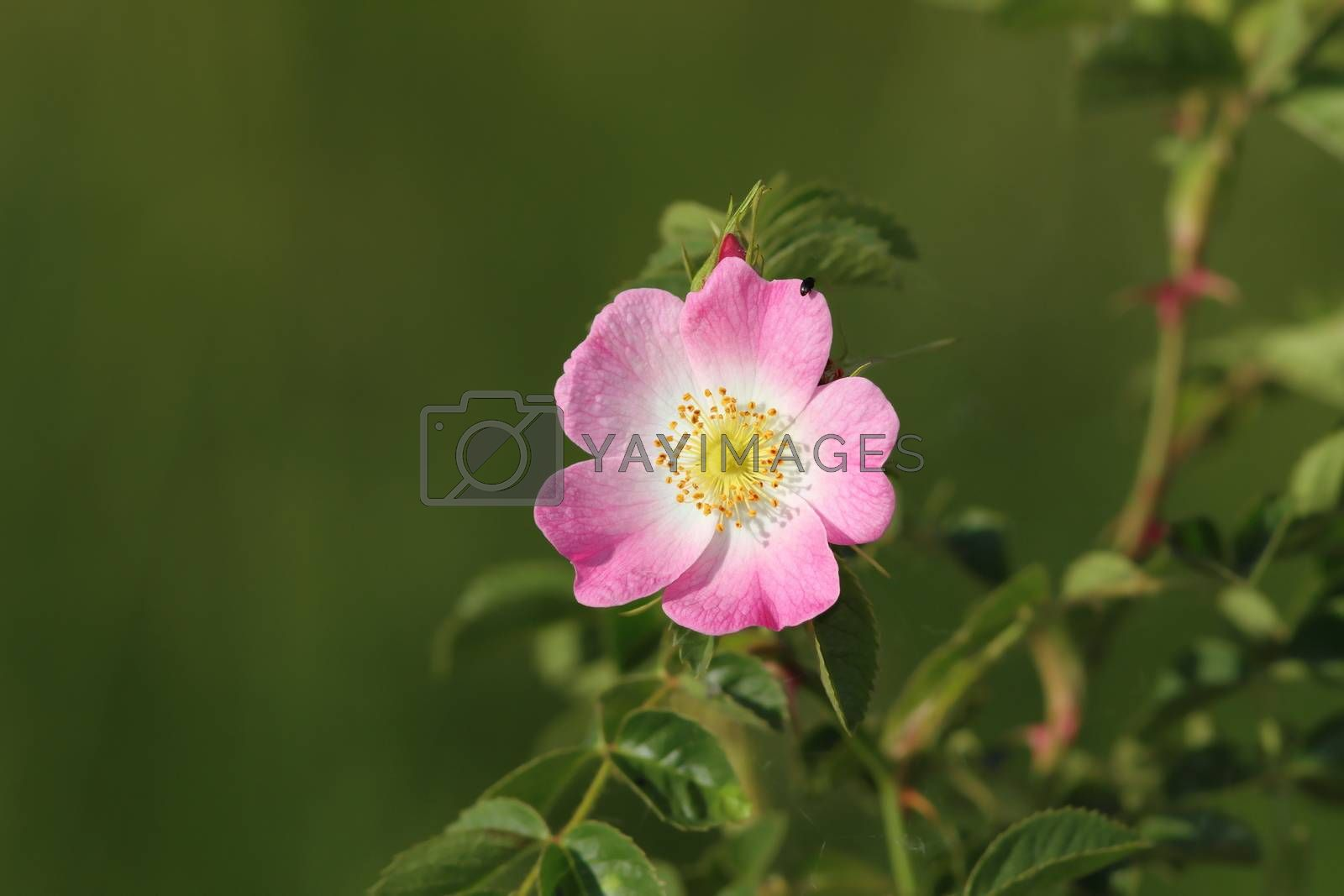 Royalty free image of dog rose wild flower by taviphoto