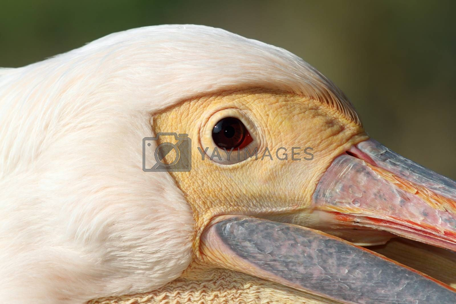 Royalty free image of face of pelecanus onocrotalus by taviphoto