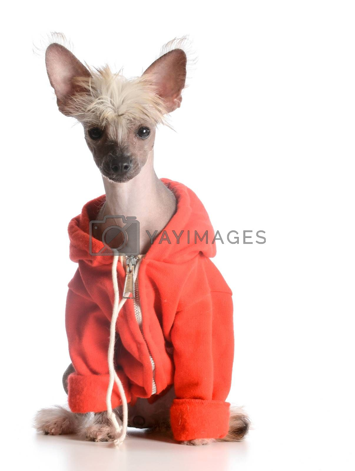 Royalty free image of dog wearing sweater by willeecole123