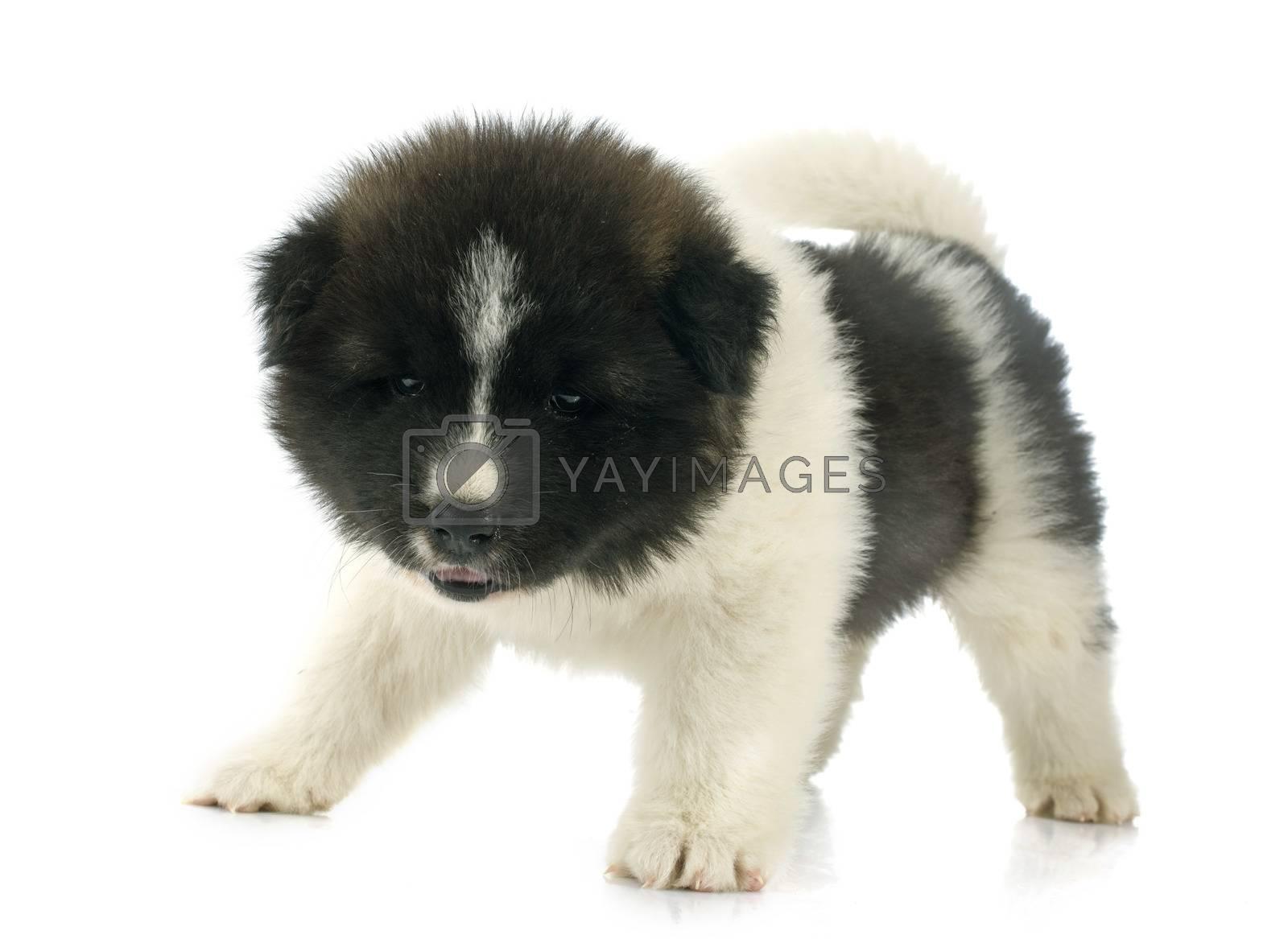 Royalty free image of puppy american akita by cynoclub