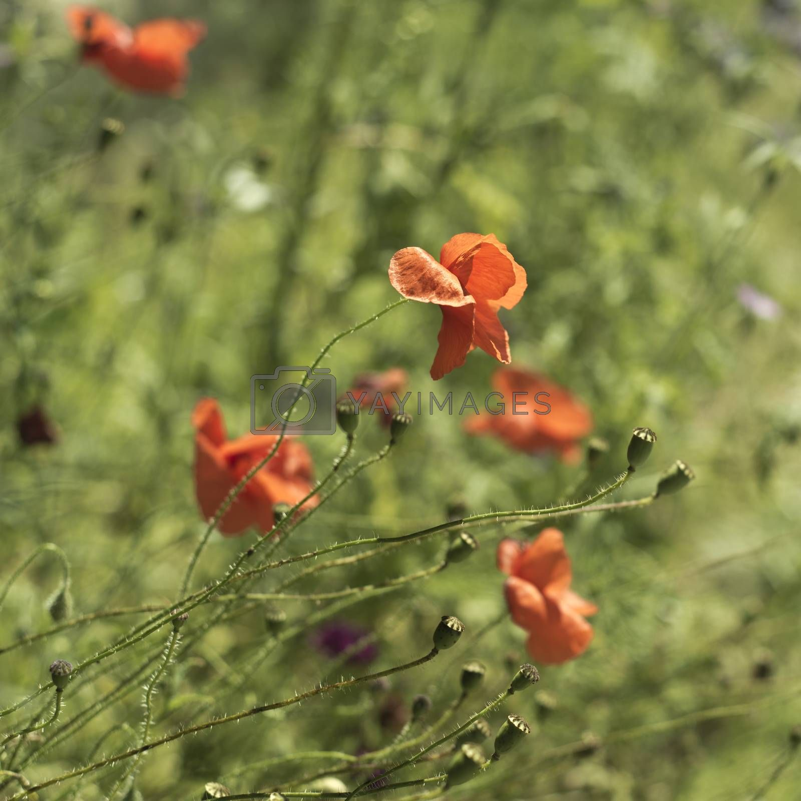 Royalty free image of Poppies field by NeydtStock