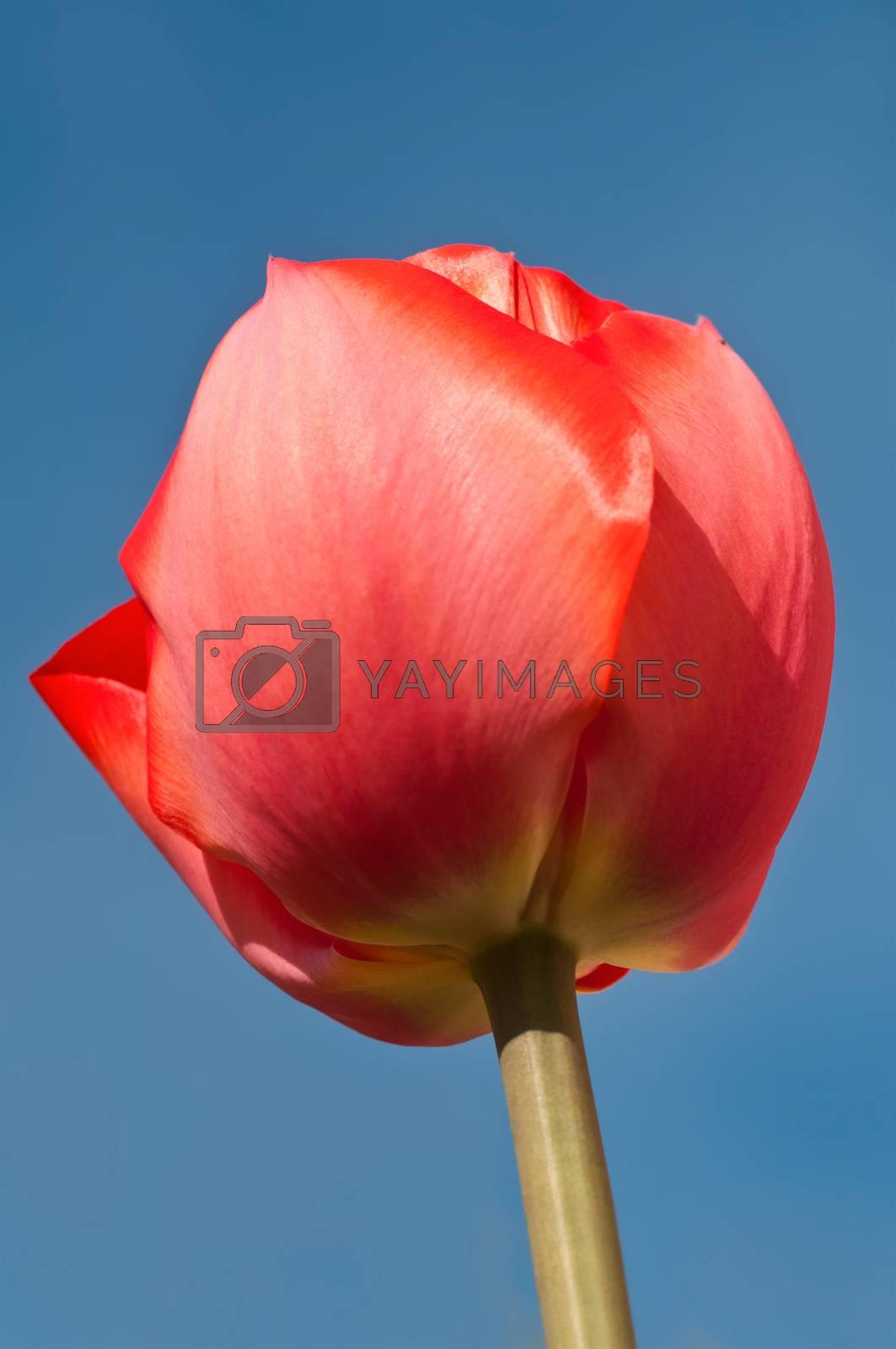 Royalty free image of Tulip on blue sky background by NeydtStock