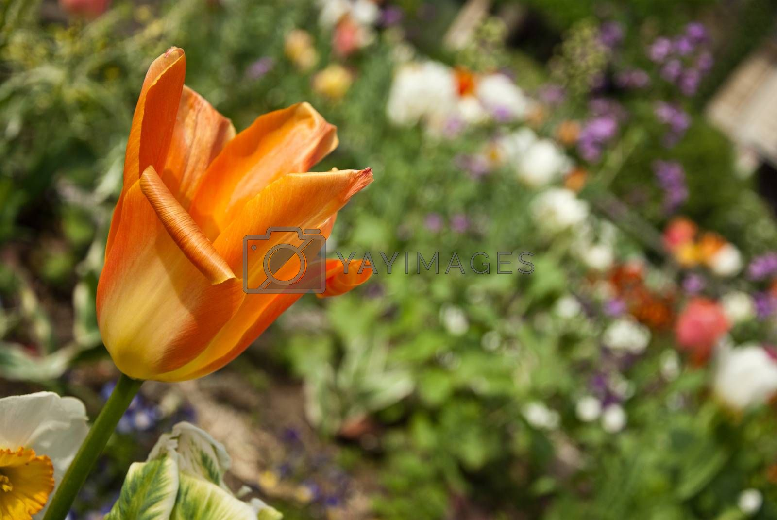 Royalty free image of tulip closeup on flowers background by NeydtStock