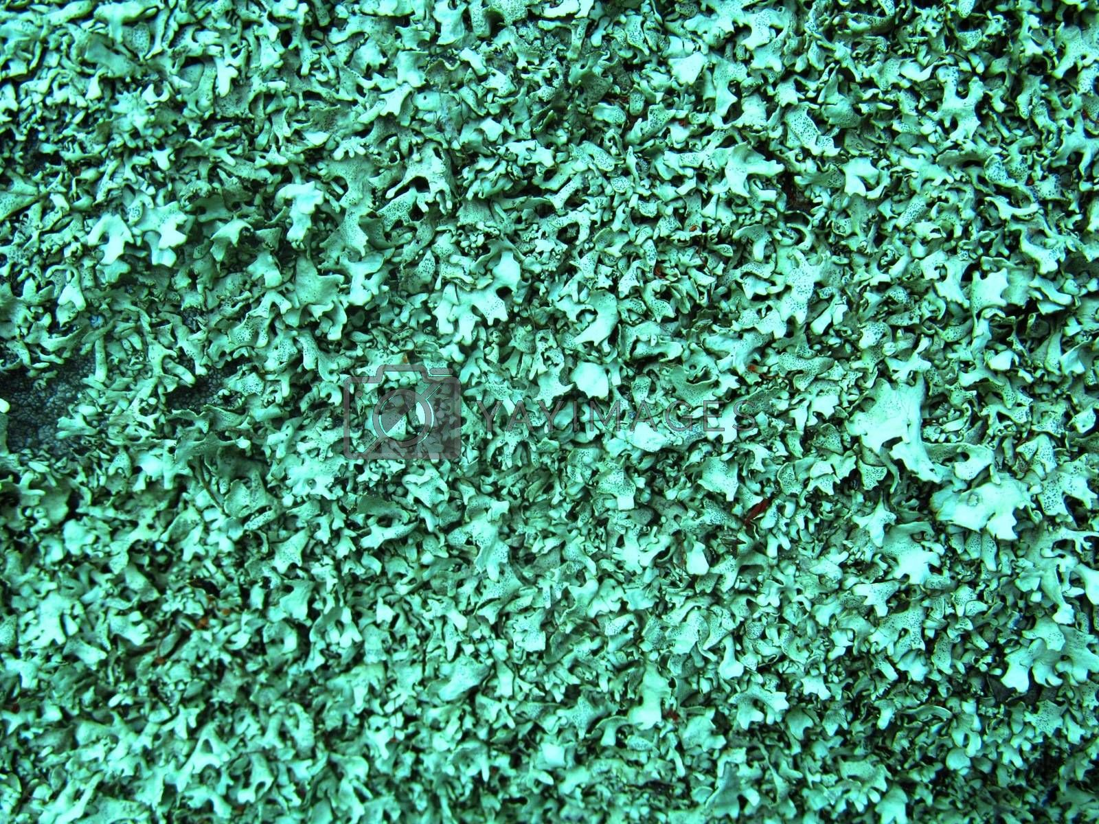 Royalty free image of lichen (Lichenes) texture colored 11 by Aleksey_Gromov