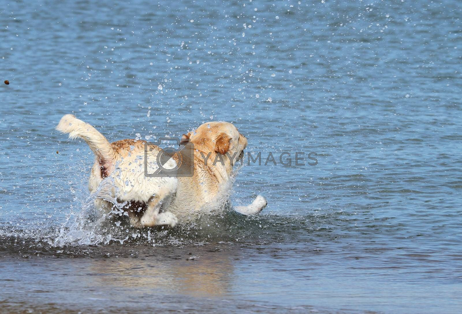 Royalty free image of a labrador swimming in the sea by Yarvet