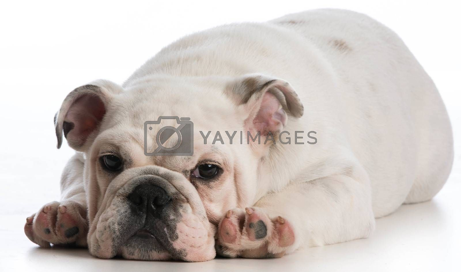 Royalty free image of cute puppy  by willeecole123