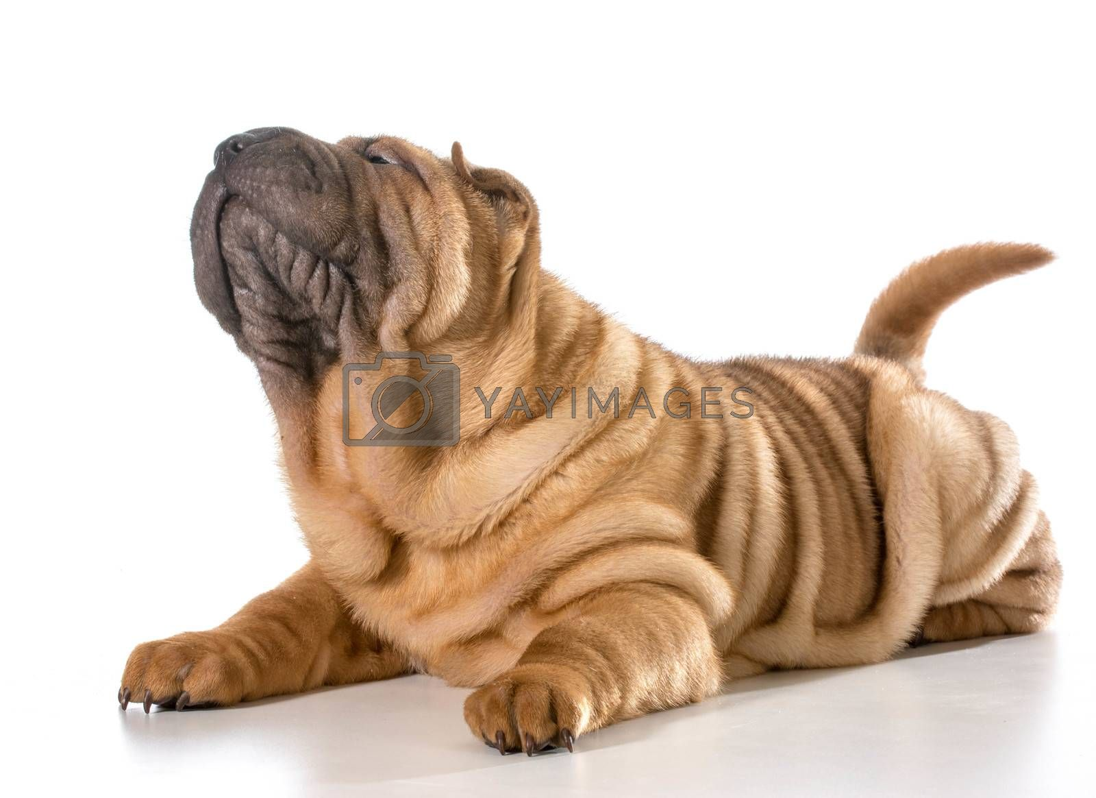 Royalty free image of chinese shar pei by willeecole123