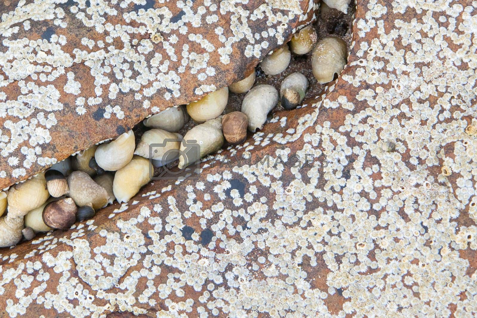 Royalty free image of Cluster of seashells by michaklootwijk