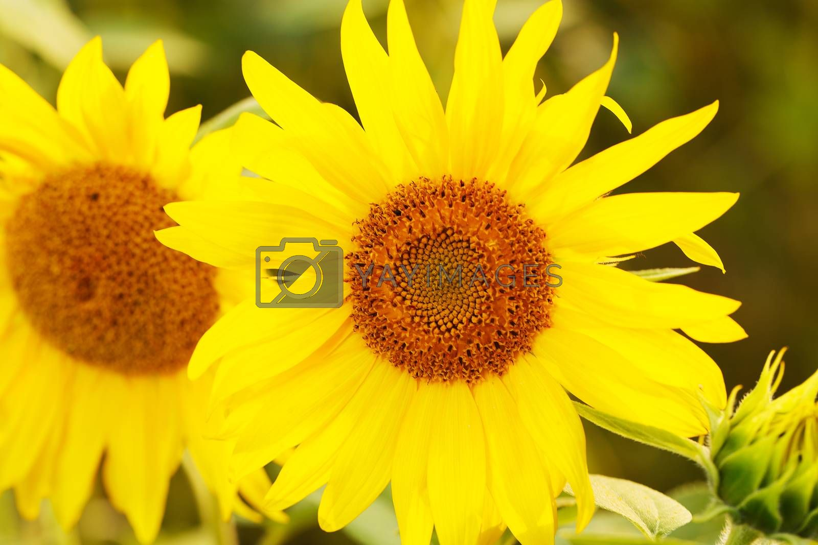 Close-up. Beautiful sunflowers on the field
