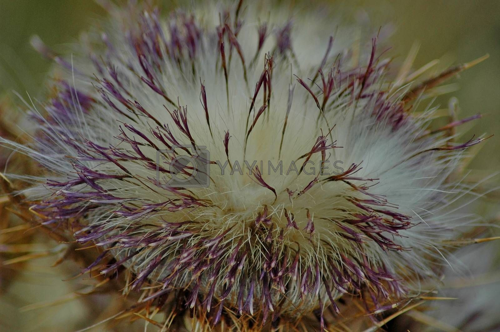 Royalty free image of Beautiful blossom thistle by intsys