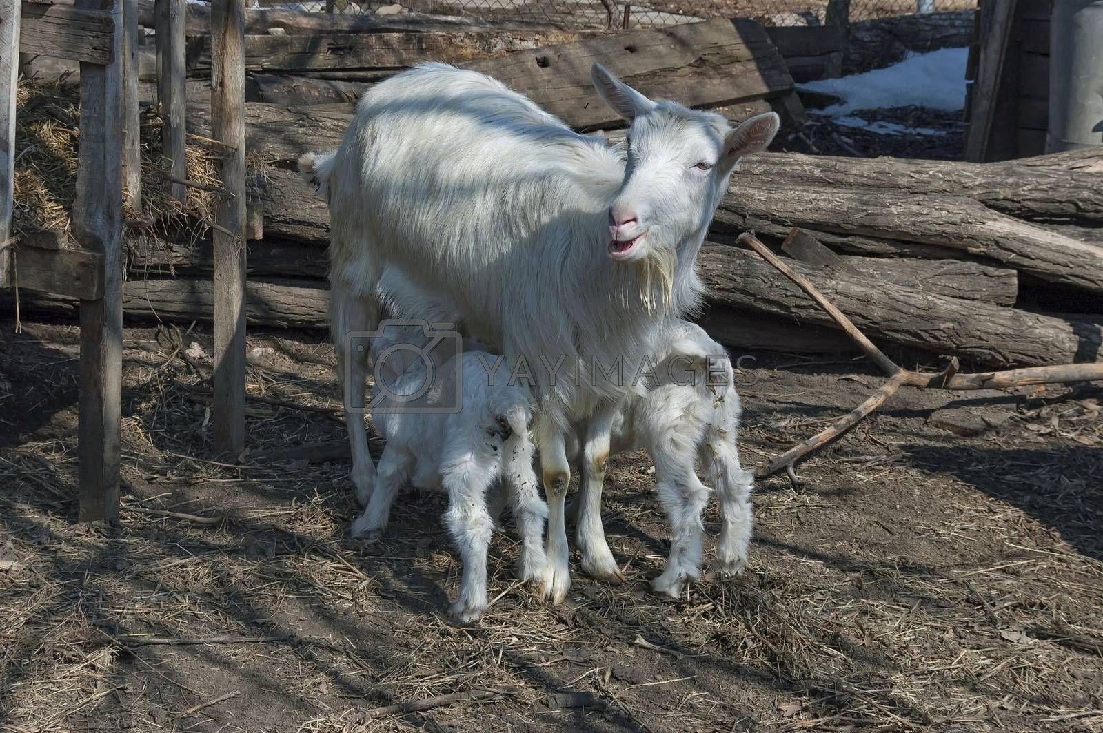 Royalty free image of Goat with two suck kid by intsys