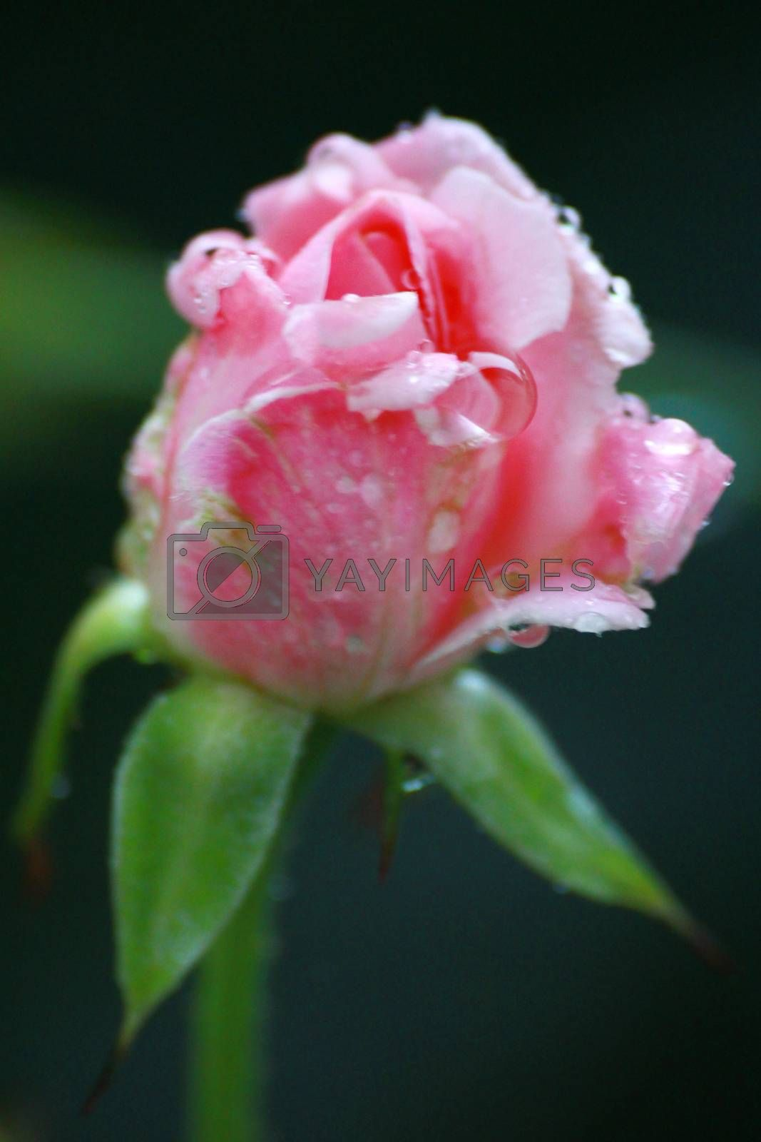 Royalty free image of drop on pink rose  by kaidevil