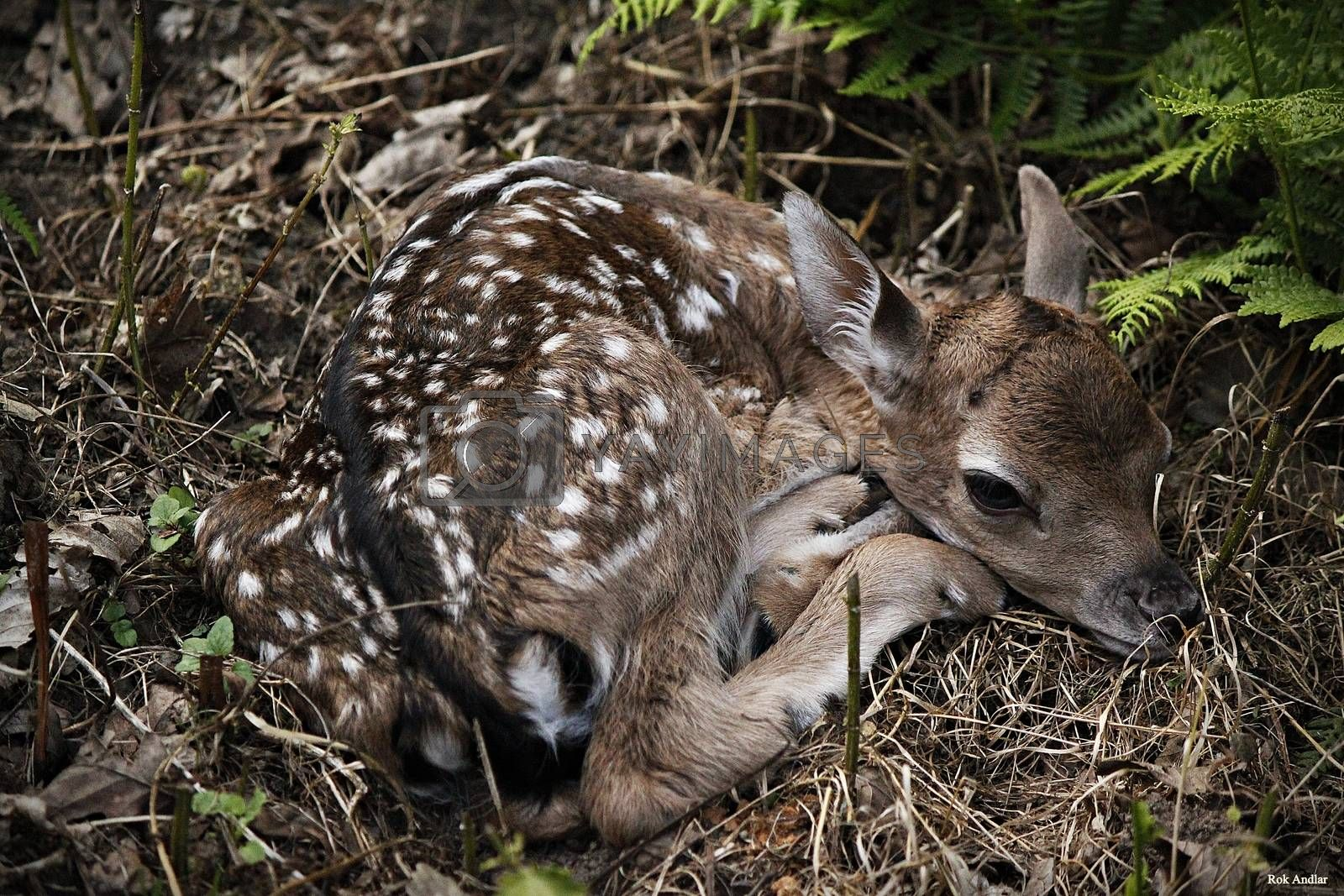 Royalty free image of Fawn by rok993