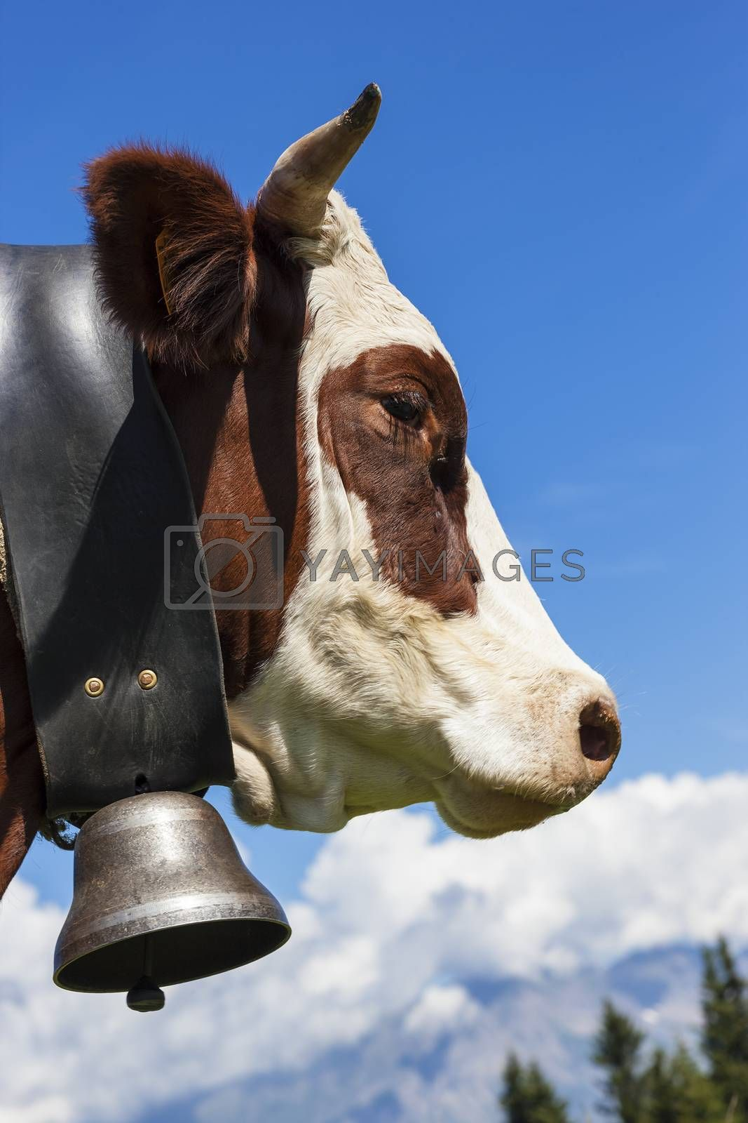 Royalty free image of Brown cow in alpine mountain by vwalakte