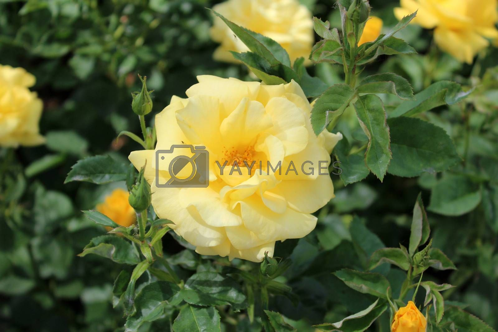 Royalty free image of Yellow rose by aamulya