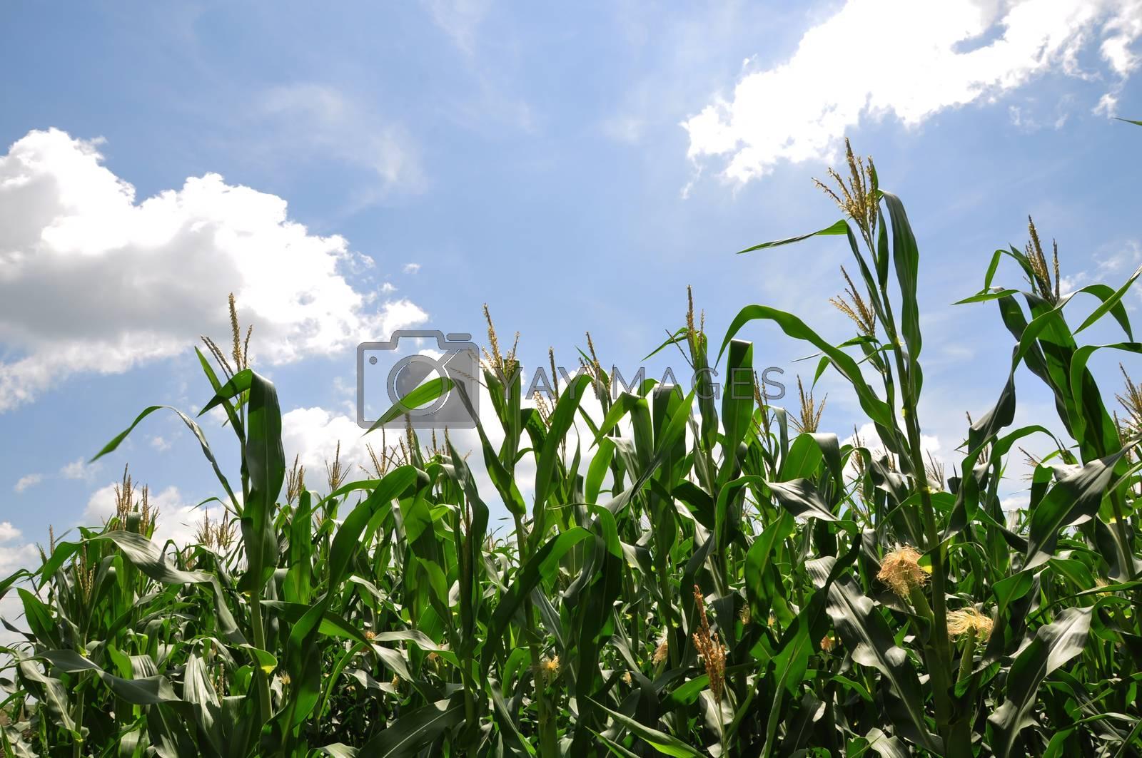 Royalty free image of Corn field by Nikola30