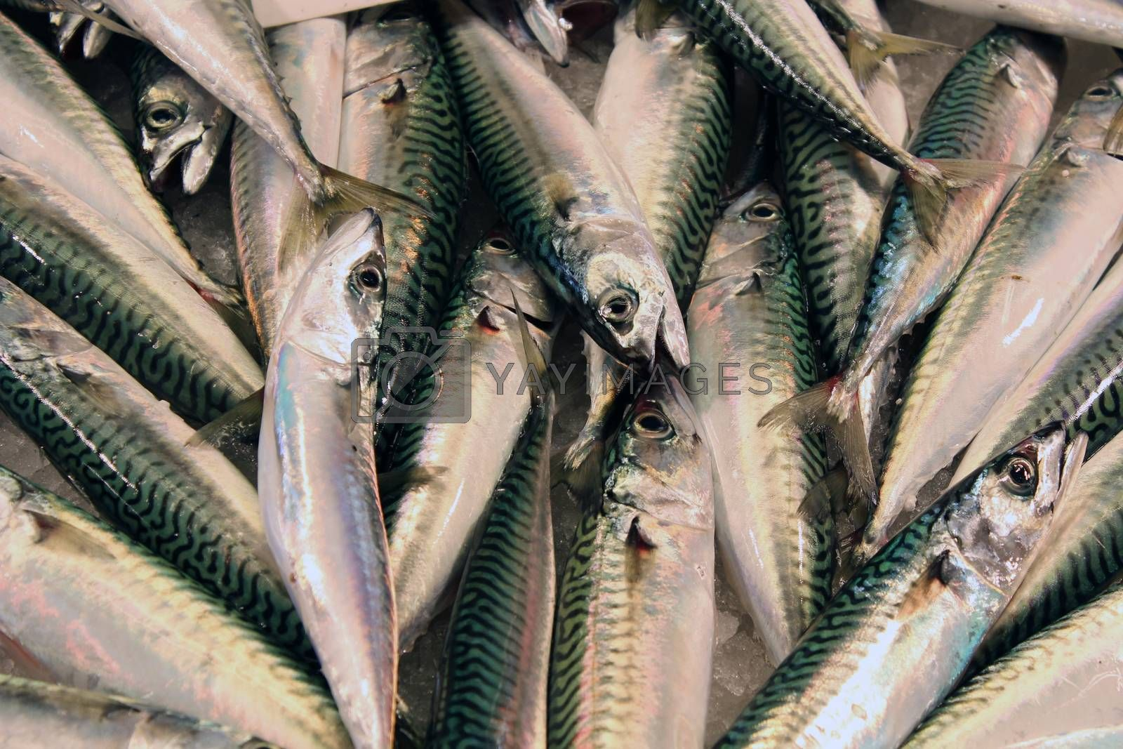 Royalty free image of Fresh sardines at a market by aamulya