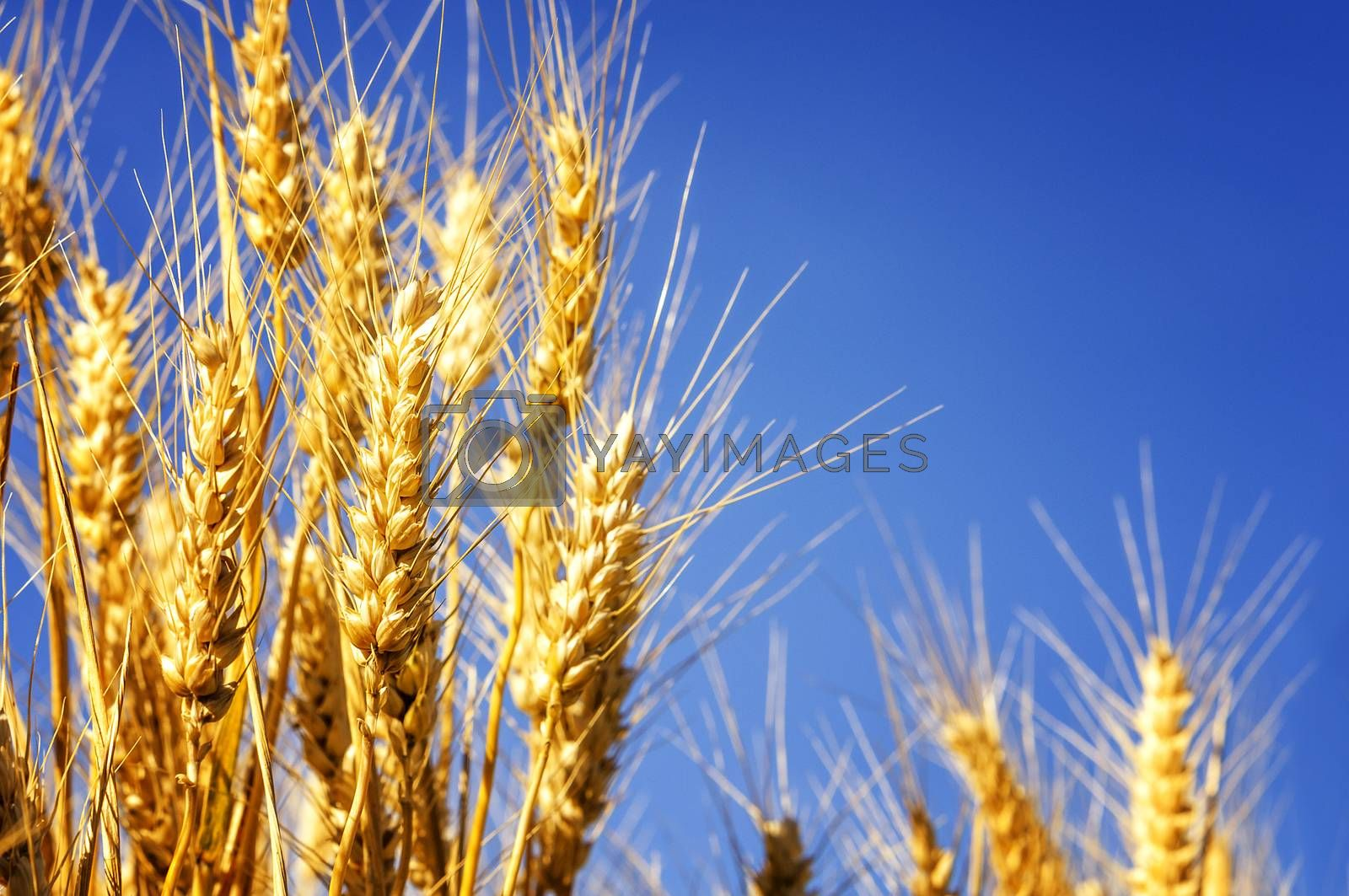 Royalty free image of Wheat field  by ventdusud
