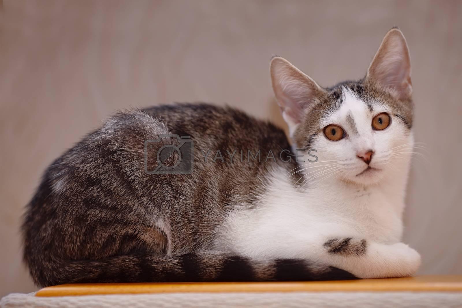 Royalty free image of Kitten on a sofa. by Azaliya