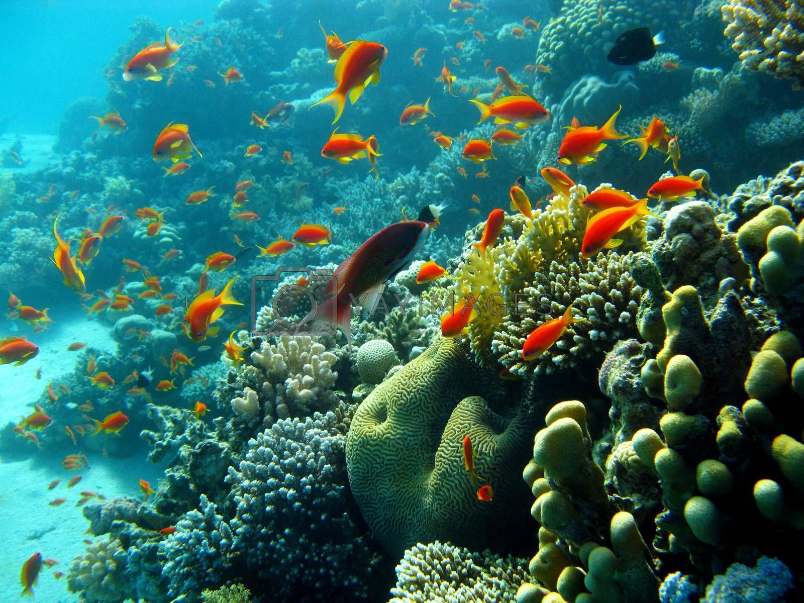 Royalty free image of coral reef with orange fishes anthias at the bottom of tropical sea on blue water background by mychadre77