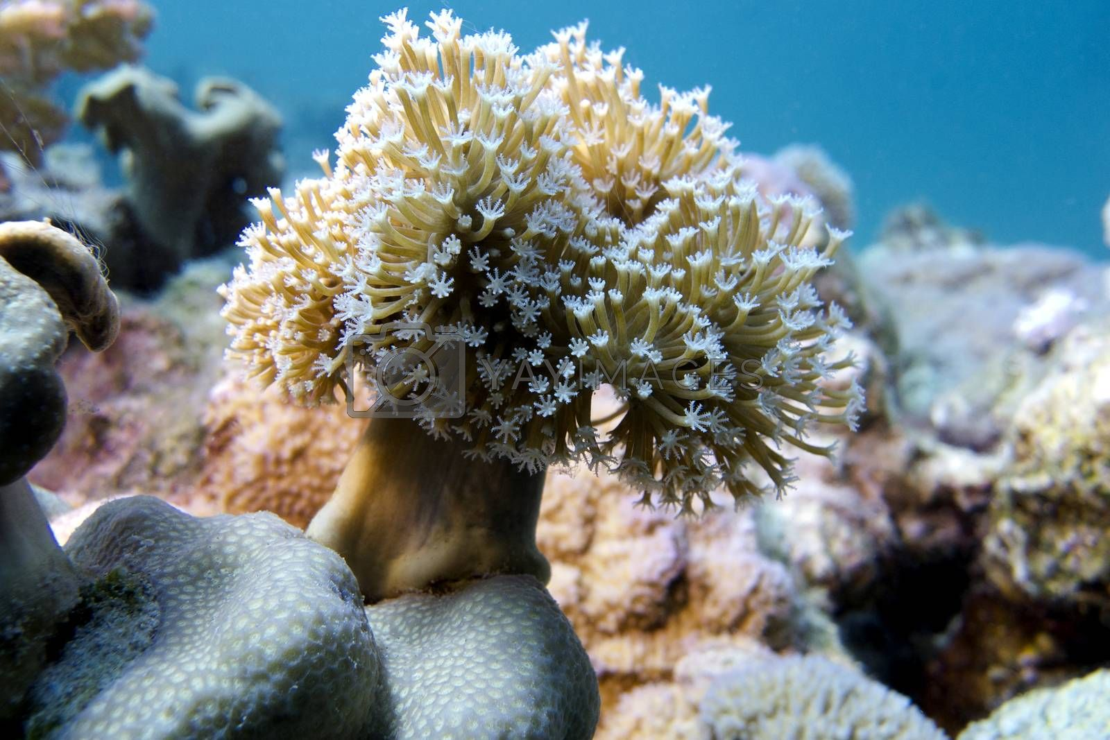 Royalty free image of coral reef with soft coral at the bottom of tropical sea by mychadre77