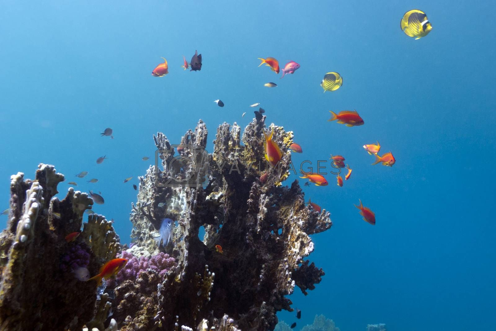 Royalty free image of coral reef with exotic colorful fishes on blue water background by mychadre77