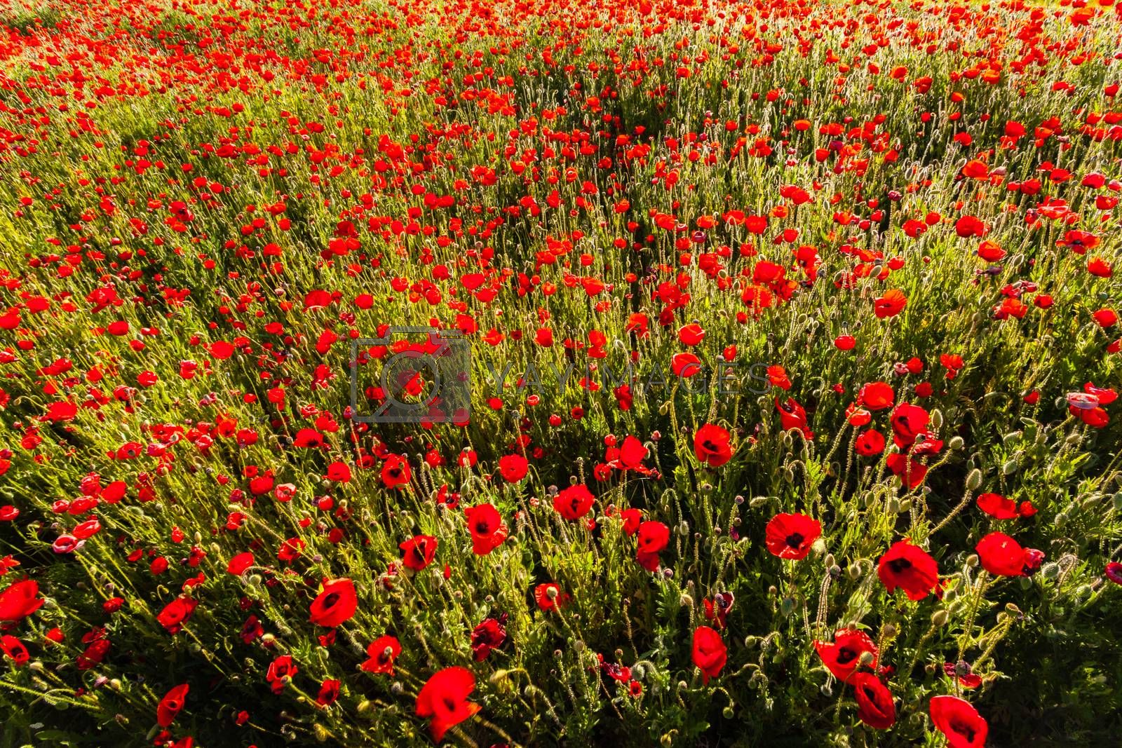 Poppy colored  field  by imagsan