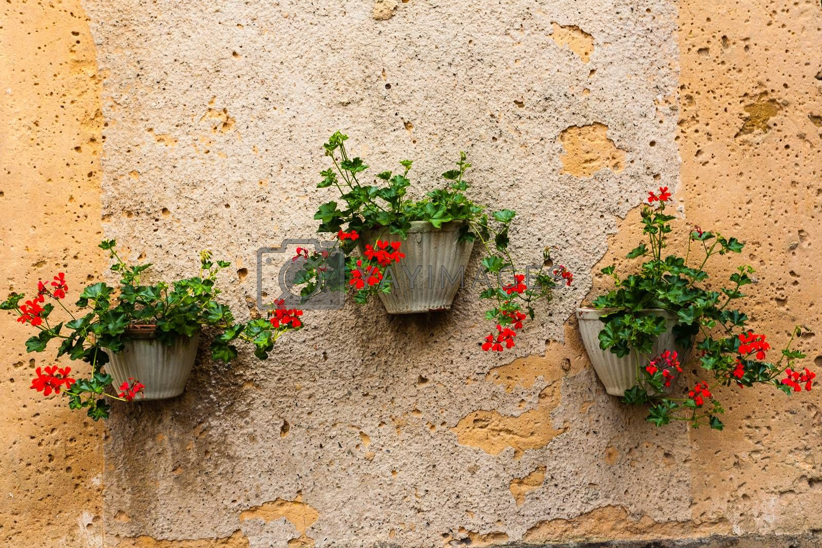 Three geranium pots hanging from a textured wall in the french region of Dordogne