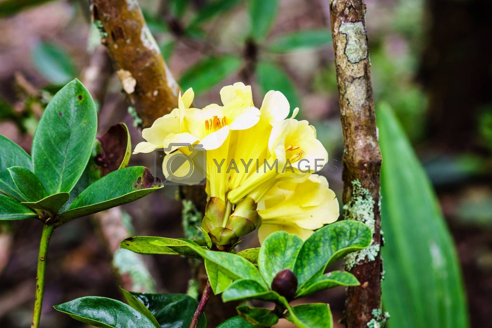 yellow flower in tropical forest,shallow focus