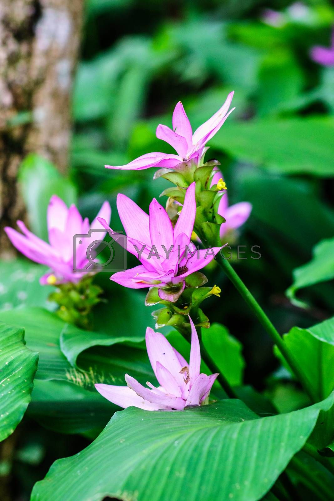 pink patumma flower in Thailand tropical forest,shallow focus
