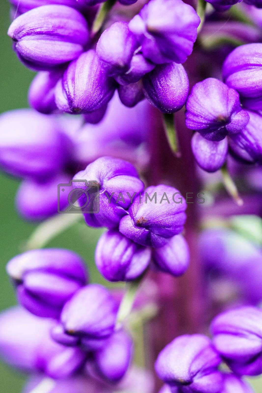 group of small purple flower intropical garden,shallow focus