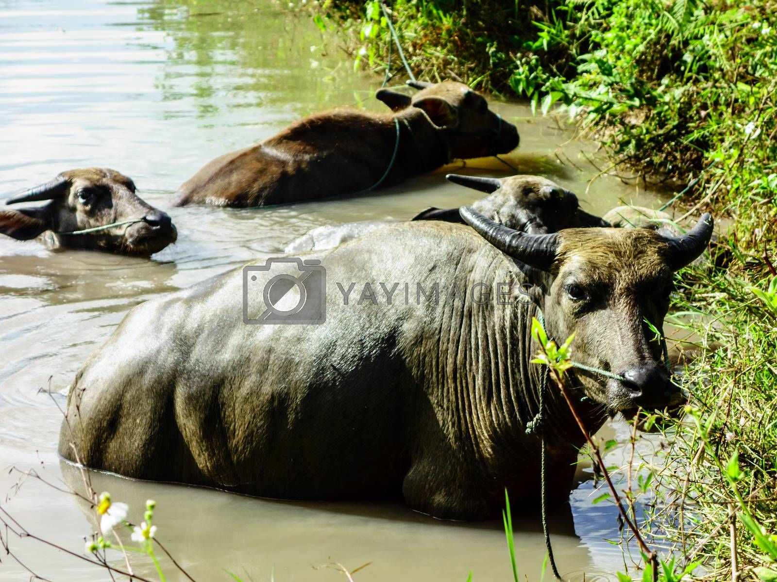 group of buffalo in water