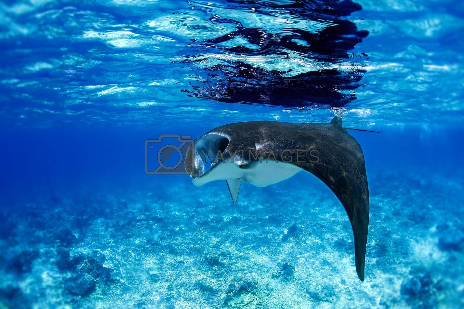 Manta ray filter feeding in the blue Komodo waters