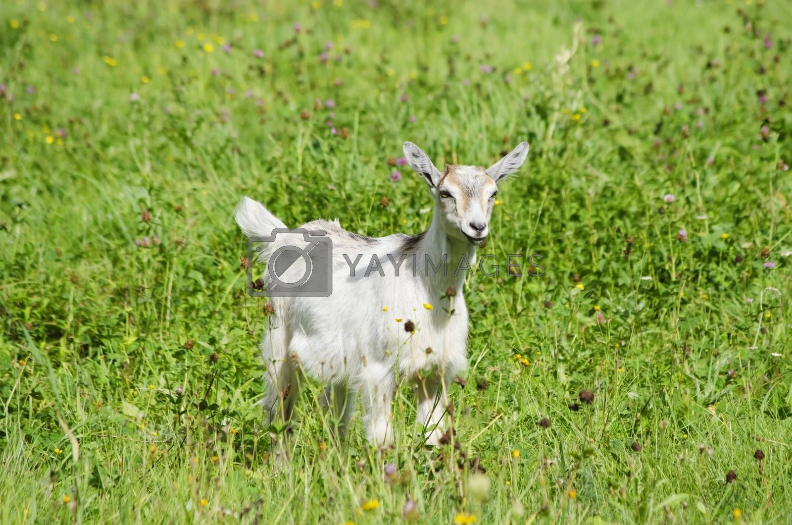 Single White Goat Over Green Meadow