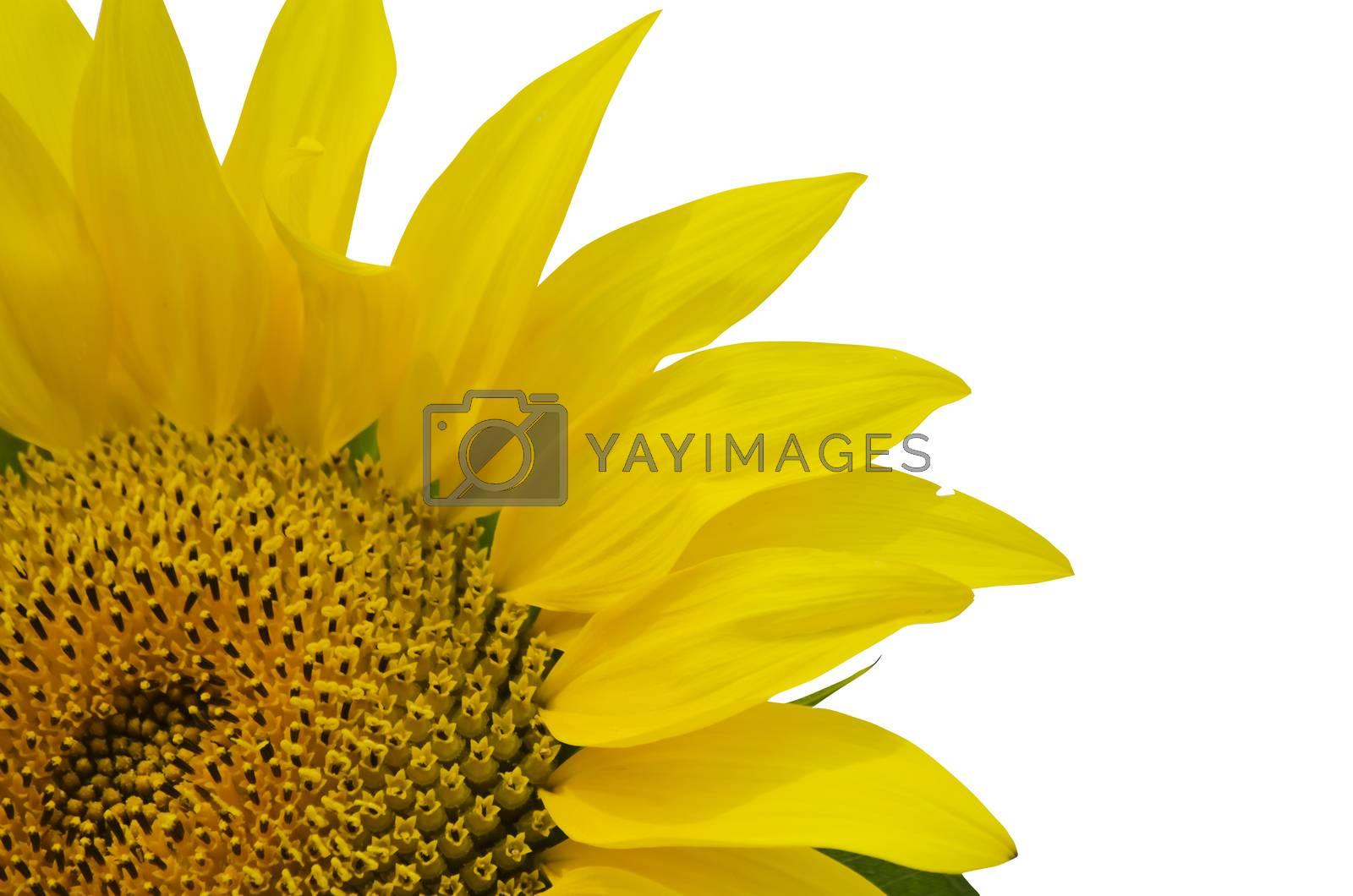 Yellow Sunflower in Summertime Over White Background