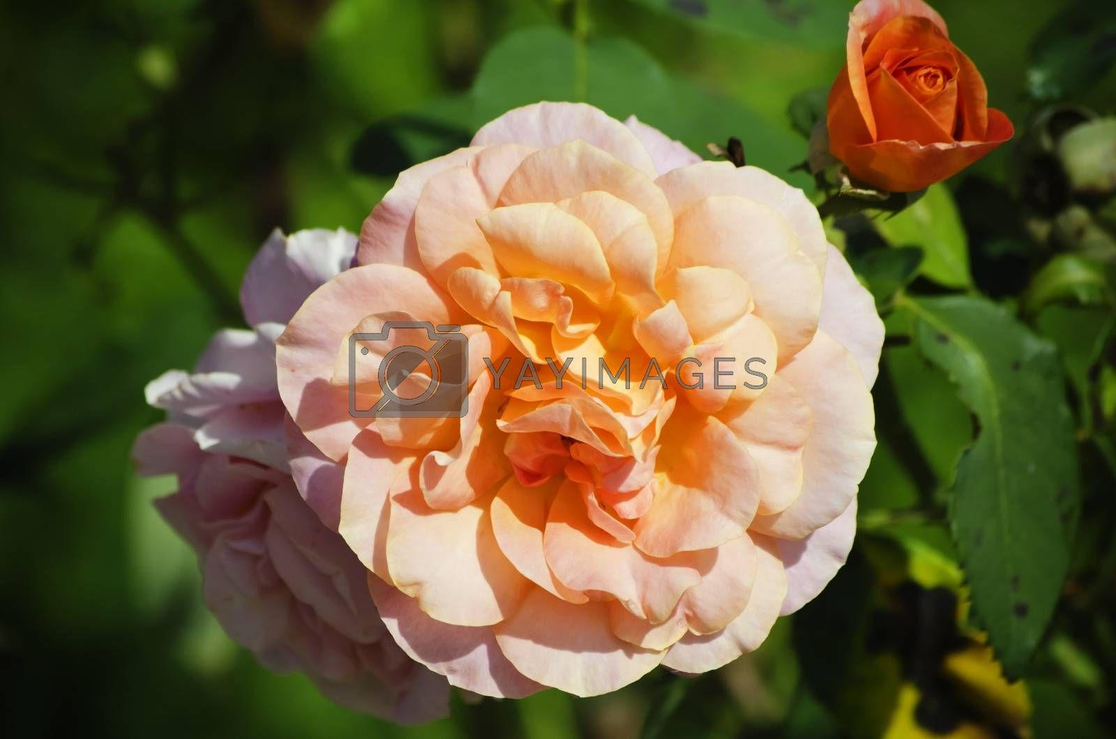 Photo of The Rose Flower Over Green Background